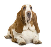 Basset Hound lying. Isolated on white royalty free stock images