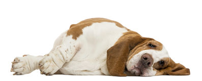 Basset Hound lying. Isolated on white stock photo