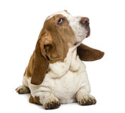 Basset Hound lying. Isolated on white stock images