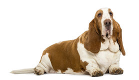 Basset Hound lying Royalty Free Stock Images