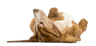 Basset Hound lying on its back Stock Photos