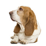 Basset Hound lying and looking left Royalty Free Stock Photo