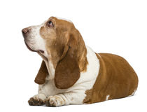 Basset Hound lying and looking up Stock Photography
