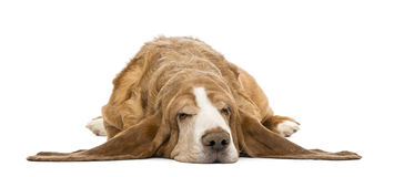 Basset Hound lying and sleeping Stock Images