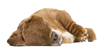 Basset Hound lying and sleeping with its ears hiding its eyes Royalty Free Stock Photo