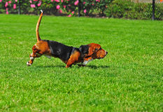 Basset Hound in motion Royalty Free Stock Photos