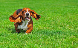 Basset Hound in motion. Ears flow in the breeze as a Basset hound runs towards the camera on a green grass field royalty free stock image