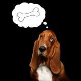 Basset Hound no fundo preto isolado Foto de Stock