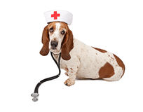 Basset Hound Nurse Royalty Free Stock Images
