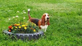 Basset Hound på gräset parkerar in Royaltyfri Bild