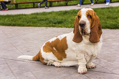 Basset hound pet dog posing in a park Royalty Free Stock Photography
