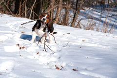 Basset hound playing fetch Royalty Free Stock Photography