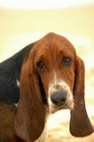Basset hound portrait. A beautiful purebred Basset Hound dog head portrait with sad expression in the face watching other dogs on the beach outdoors stock photos