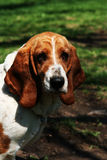 Basset Hound: Portrait of a Hound Stock Photography
