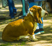 Basset Hound. portrait of a purebred basset artesien (basset hou Royalty Free Stock Photo