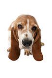 Basset hound portrait taken from above. Basset hound high key portrait taken from above royalty free stock image