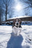 Basset hound pup running. Baby basset hound puppy running towards the viewer with funny facial expression, in snow with sun in the background royalty free stock image