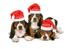 Basset Hound Puppies Wearing Santa Hats royalty free stock image