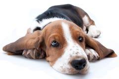 Basset hound puppy. Lying down on white background Royalty Free Stock Photo