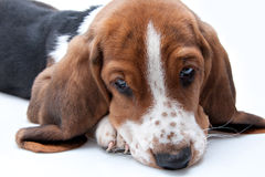 Basset hound puppy. Closeup of face looking down on white background royalty free stock photos