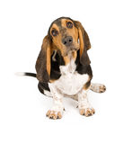 Basset Hound Puppy. Tilting head. Isolated on white stock photography
