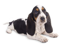 Basset hound puppy. Cute basset hound puppy isolated on white royalty free stock image