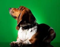 Basset Hound Puppy Stock Image