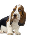 Basset Hound Puppy. In front of white background stock images