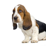Basset Hound Puppy. In front of white background royalty free stock photography