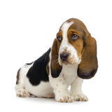 Basset Hound Puppy. In front of white background stock image