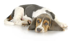 Basset hound puppy. Laying down with reflection on white background royalty free stock photos