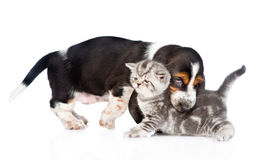 Basset hound puppy bitting kitten. isolated on white background Royalty Free Stock Photos