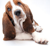 Basset hound puppy closeup. Closeup of basset hound puppy with curious facial expression on white background stock photos