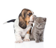 Basset hound puppy kissing tiny kitten. isolated on white Stock Photos