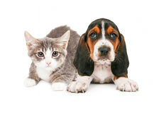 Basset Hound Puppy and Kitten. A cute little kitten and Basset Hound puppy laying together royalty free stock photography