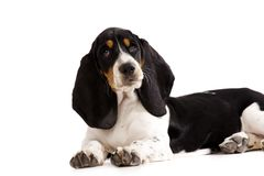 Basset Hound Puppy  on a White Background Royalty Free Stock Images