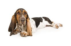 Basset Hound Puppy Laying Down Royalty Free Stock Images