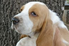Basset hound puppy. A basset hound puppy laying seven weeks old royalty free stock images