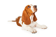 Basset Hound Puppy Looking Up for Approval Stock Photo