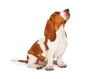 Basset Hound Puppy Looking Up While Sitting. A cute and well trained Basset Hound puppy dog looking up while sitting at an angle stock images