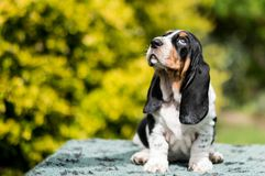 Basset hound puppy looking up to the sky. Basset hound puppy looking from right to left, sitting in front of a natural, outside backdrop royalty free stock images