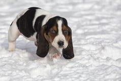 Basset Hound puppy Royalty Free Stock Photo