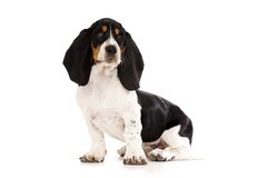 Basset Hound Puppy  on a White Background Royalty Free Stock Image