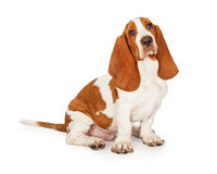 Basset Hound Puppy Sitting Looking Into Camera Royalty Free Stock Photos