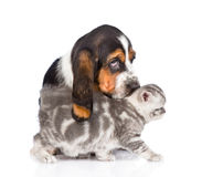 Basset hound puppy sniffing kitten. isolated on white background Royalty Free Stock Image