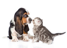 Basset hound puppy sniffing tabby kitten. isolated on white Stock Photos