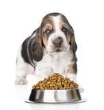 Basset hound puppy standing with a bowl of dry cat food. isolated. On white royalty free stock photos