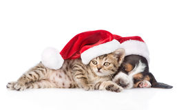 Basset hound puppy and tiny kitten in red santa hat. isolated. On white royalty free stock image