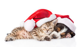 Basset hound puppy and tiny kitten in red santa hat. isolated Stock Photography