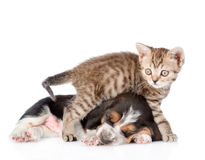 Basset hound puppy and tiny kitten together. on white b. Ackground royalty free stock images